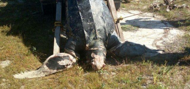 Recala en Progreso una tortuga muerta