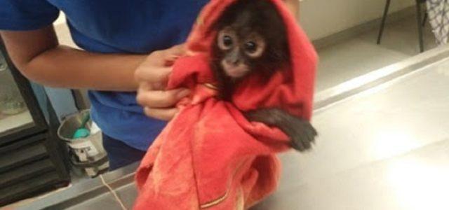 PROFEPA asegura ejemplar de mono araña en restaurante de Mérida