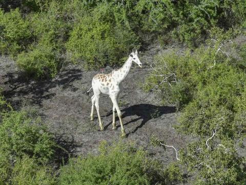 Photo of La última jirafa blanca del mundo sera vigilada por GPS