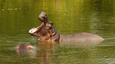 Photo of Proponen sacrificar a los hipopótamos de Pablo Escobar