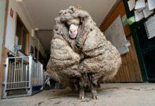 Photo of Baarack, una oveja vagabunda y enferma con 35 kilos de lana, ha sido rescatada en un bosque de Australia