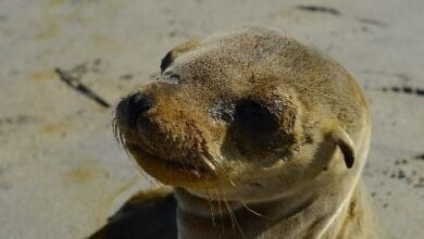 Photo of Profepa atiende varamiento de lobo marino en playas de Rosarito