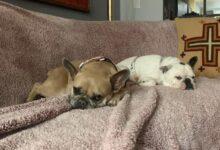 Photo of Koji y Gustav, los perros bulldogs de Lady Gaga fueron recuperados