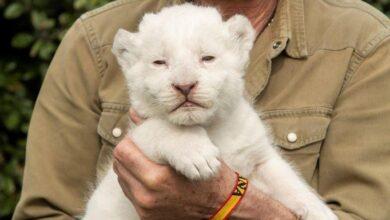 Photo of Presentan a 'The White King', el primer león blanco nacido en Sevilla en cautiverio