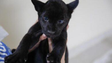 """Photo of """"Booxo"""", se llama el jaguarcito negro del Centenario"""
