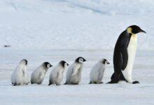 Photo of En Noruega, vacunan a pingüinos para protegerlos de gripe aviar…¡Y recibirán segunda dosis!