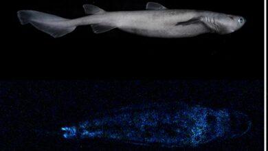 Photo of Hallan en Nueva Zelanda al tiburón luminoso más grande del mundo