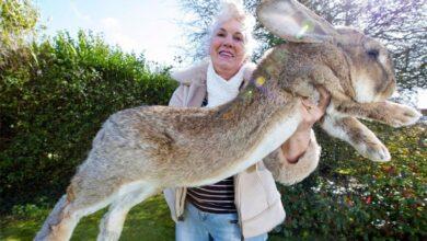 Photo of Roban a Darius, el conejo más grande del mundo; ofrecen recompensa de 27 mil pesos por encontrarlo