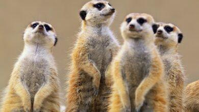Photo of Las suricatas, los animales más letales del mundo: revela estudio