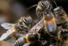 Photo of Investigadores de Holanda entrenan abejas para detectar casos de covid-19