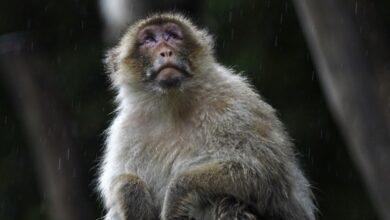 Photo of Muere veterinario de China por «virus del mono B»