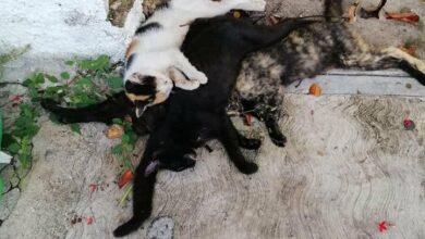 Photo of Envenenan a más de 20 gatos en la Jesús Carranza