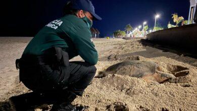 Photo of Malecón Internacional de Progreso fue escenario del desove de una tortuga Carey