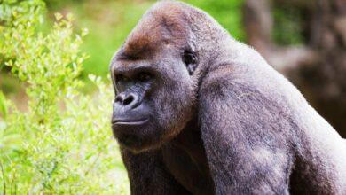 Photo of Detectan COVID en gorilas del zoológico de Atlanta
