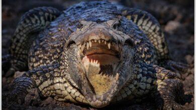 Photo of Hallan tesoro prehistórico en panza de un cocodrilo