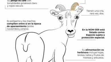 """Photo of """"Parece el chupacabras""""; usuarios critican dibujo de Profepa del borrego cimarrón"""