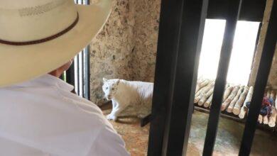 Photo of Tigresa albina, nueva integrante del zoológico de Tizimín