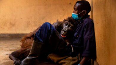 Photo of Ndakasi, la gorila más famosa del Congo, murió en brazos de su cuidador