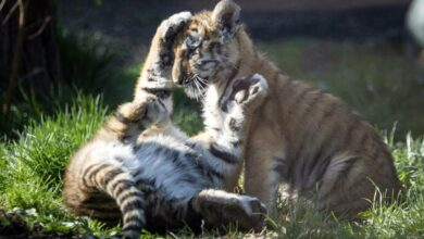 Photo of Cuatro tigres bengala bebé enternecen a visitantes en zoológico de Guadalajara